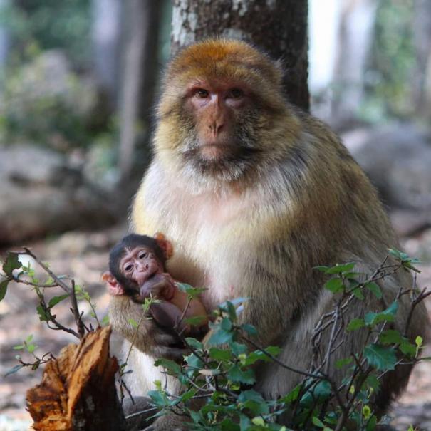 monos en azrou, lo veremos con nuestro tour de 3 dias en Marruecos